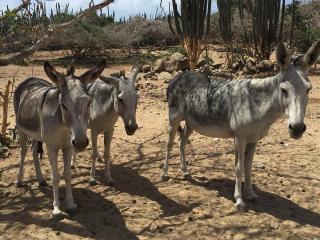 Aruba_Donkey_16_9