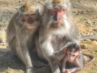 Bali_Monkeys_16_9