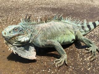 Curacao_Leguan_16_9