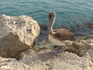 Curacao_Pelikan_16_9