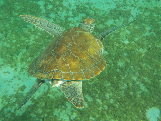 Curacao_Wasserschildkröte_4_16_9