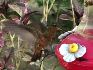 Tobago_Hummingbird_16_9