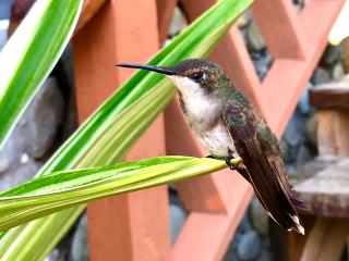 Tobago_Hummingbird_2_16_9
