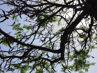 Teneriffa_Parque_Nacional_Tree_16_9