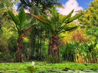 Barbados_Garden_Flower_Bananatree_16_9