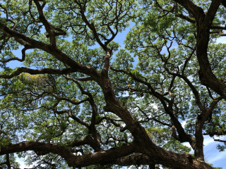 Barbados_Tree_16_9