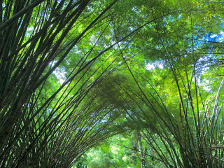 Tobago_Bamboo_Forest_16_9