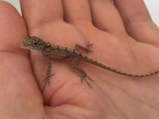 Curacao_Lizard_Baby_16_9