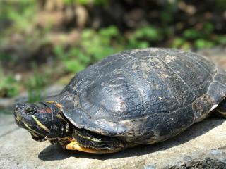 Japan_Enoshima_Turtle_16_9